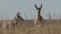 Pronghorn Antelope Fall Stock Footage
