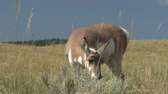 Pronghorn Antelope Doe Lone Feeding Fall - stock footage