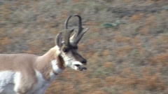 Pronghorn Antelope Buck Adult Lone Panting Fall Tired Tongue Breathing - stock footage