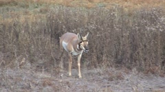 Pronghorn Antelope Buck Adult Lone Breeding Fall Scent Marking Pawing Urinating Stock Footage