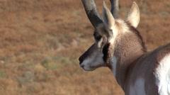 Pronghorn Antelope Buck Adult Lone Fall Closeup - stock footage