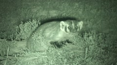Badger Lone Fall Night Infrared Stock Footage