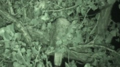 Red-tailed Hawk Lone Sleeping Fall Night Infrared Stock Footage