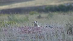 White-tailed Prairie Dog Lone Alarmed Fall Stock Footage