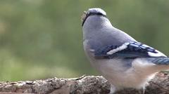 Blue Jay Lone Feeding Fall Stock Footage