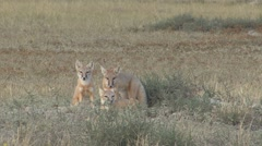 Swift Fox Young Family Stretching Summer Stock Footage