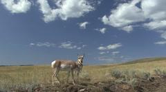 Pronghorn Antelope Doe Pair Feeding Fall - stock footage