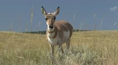 Pronghorn Antelope Doe Feeding Fall Stock Footage