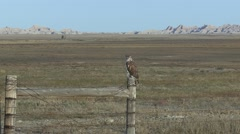 Ferruginous Hawk Lone Fall Zoom In Stock Footage