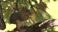 Fox Squirrel Lone Feeding Fall Stock Footage