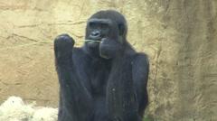 Lowland Gorilla Lone Feeding Summer Stock Footage