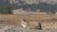 Black-tailed Prairie Dog Adult Lone Calling Fall Yip Call Calling Stock Footage