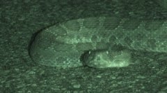 Rattlesnake Lone Alarmed Summer Night Infrared Stock Footage