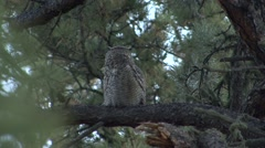 Great Horned Owl Lone Resting Fall Stock Footage