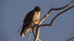 Red-tailed Hawk Lone Alarmed Fall Dawn Stock Footage