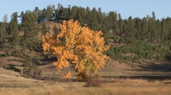 Cottonwood Fall Foliage - stock footage