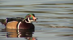 Wood Duck Drake Adult Feeding Fall Acorn Stock Footage