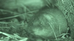 Prairie Vole Lone Fall Night Infrared Stock Footage