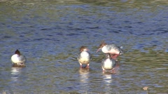 Common Merganser Several Resting Fall Stock Footage