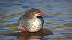 Common Merganser Lone Resting Fall Stock Footage