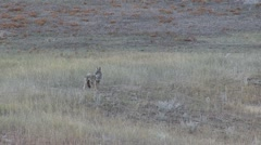 Coyote Lone Calling Fall Howl Bark Yip Yap Stock Footage
