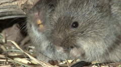 Prairie Vole Pair Fall Zoom Out Floodlight Stock Footage