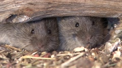 Prairie Vole Pair Fall Closeup Floodlight - stock footage