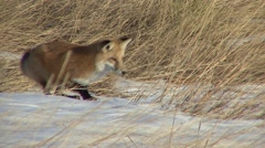 Red Fox Lone Hunting Fall Stock Footage