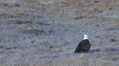 Bald Eagle Adult Lone Hunting Fall Stock Footage