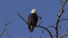Bald Eagle Adult Lone Calling Fall - stock footage