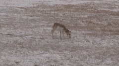 Pronghorn Antelope Herd Feeding Winter Snow Snowing Zoom Out Stock Footage