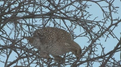 Sharp-tailed Grouse Lone Feeding Winter - stock footage