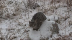 Feral Cat Lone Winter Exotic Nuisance Domestic - stock footage