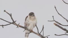 Ferruginous Hawk Lone Resting Winter Stock Footage