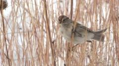 Tree Sparrow Lone Feeding Winter Stock Footage