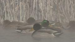Mallard Drake Hen Flock Winter Fog Cold - stock footage