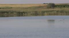 Black Tern Several Feeding Summer Wetland Slow Motion Stock Footage