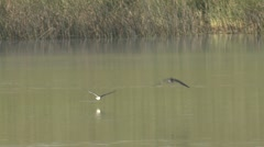 Black Tern Several Feeding Summer Slow Motion - stock footage