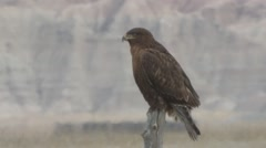 Ferruginous Hawk Lone Winter Dark Phase Stock Footage