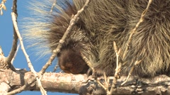 Porcupine Lone Feeding Winter Stock Footage