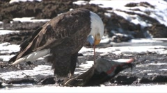 Bald Eagle Adult Lone Feeding Winter Predation Carnivore Kill - stock footage