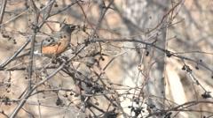 Robin Several Feeding Winter Stock Footage