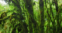 Old growth mossy trees in lush forest Stock Footage