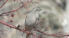 Townsends Solitaire Lone Winter Stock Footage