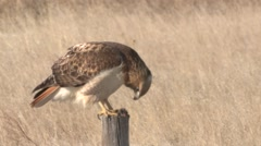 Red-tailed Hawk Lone Feeding Winter Fencepost Mouse - stock footage