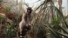 Ringtailed Lemur Stock Footage