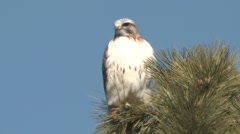 Red-tailed Hawk Lone Resting Winter Stock Footage