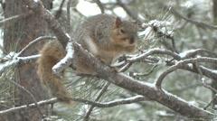 Fox Squirrel Lone Winter Snow Stock Footage