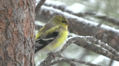 Goldfinch Male Winter Stock Footage
