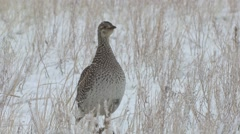 Sharp-tailed Grouse Lone Spring Snow Stock Footage